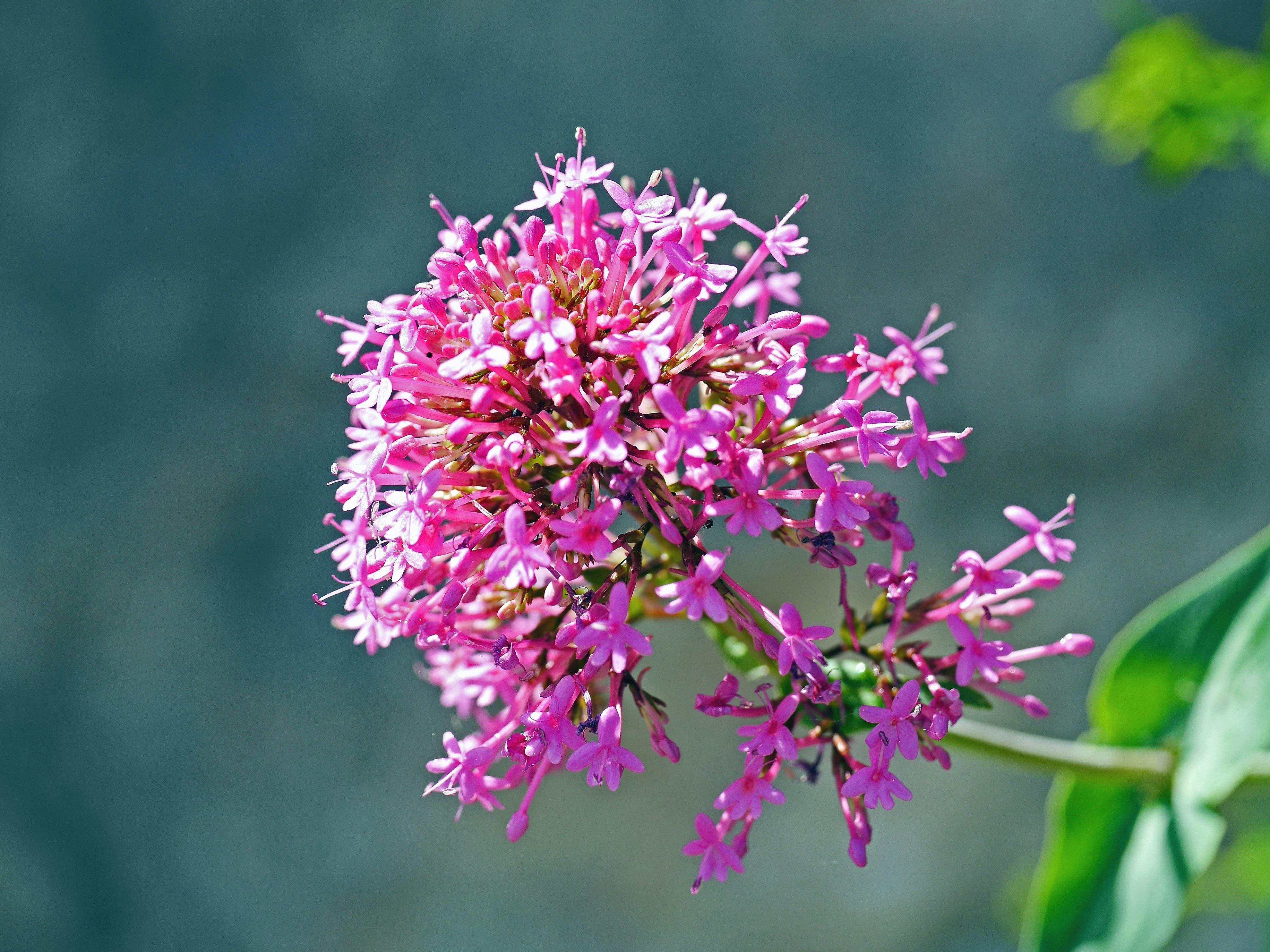 kostenlose bild blume rosa pflanze bl te zweig bl tenblatt bl te garten mit blumen. Black Bedroom Furniture Sets. Home Design Ideas