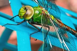 hmyzu, bezstavovcov, rastlín, vážka, krídla