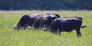cattle, cow, farm, pasture, ranch, bovine, animal, beef, field, rural, grass
