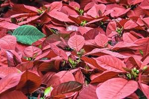 blad, groen, rood, plant, natuur