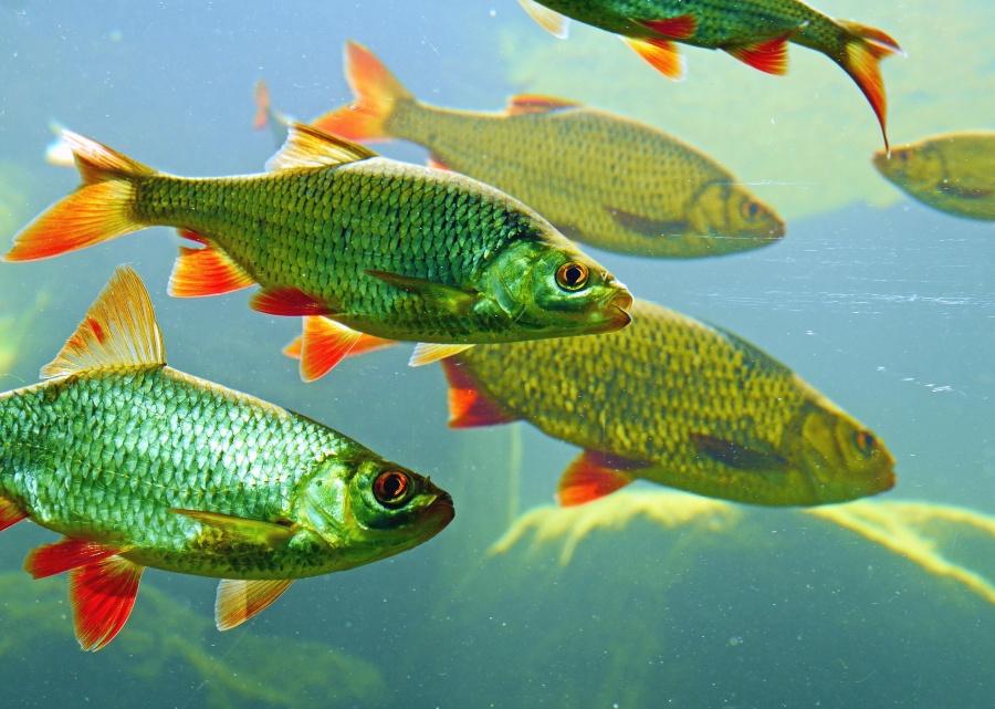 Fische, unterwasser, fluss, tier, wasser, fauna