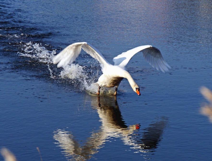 water, bird, feather, swan, reflection, animal