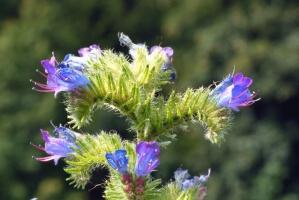 thistle, flower, herb, plant, garden, pink, floral, flora, bloom, color