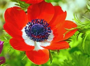 flower, petal, plant, pistil, blossom, red, garden, flora