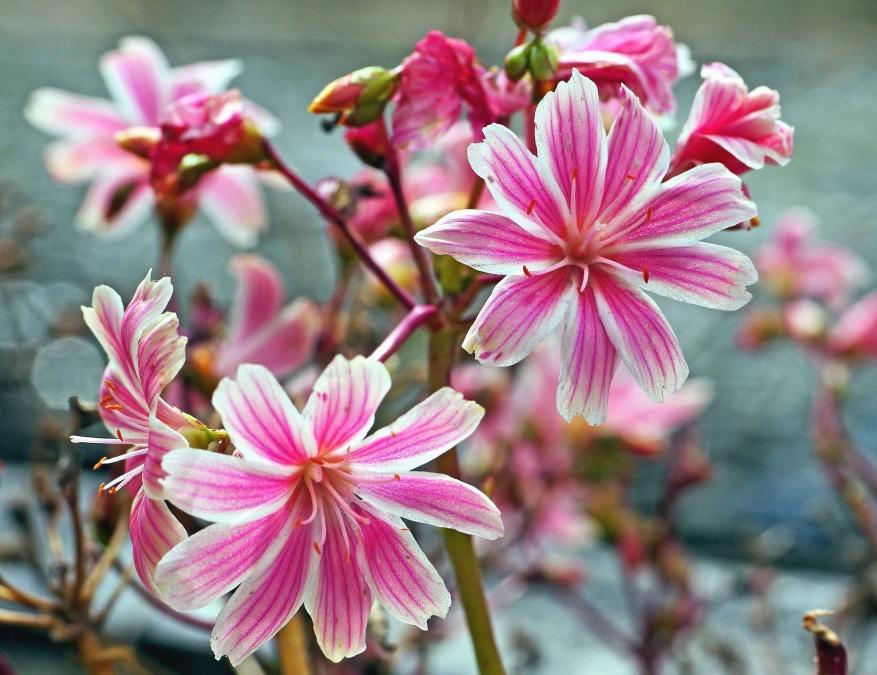 pink, flower, plant, garden, petal, flora, leaf, petal