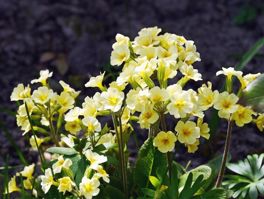 flower, plant, blossom, garden, petal, bloom, leaf
