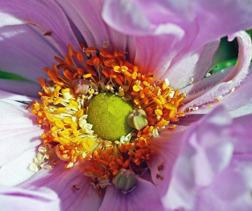 Garden Roses Flower Petal: Free Picture: Flower, Petal, Blossom, Plant, Garden