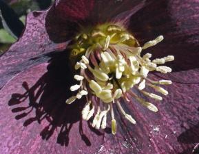blomsten, bestøvningen, pollen, kronblade, plante, botanik