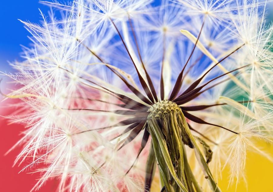 dandelion, herb, flower, seed, summer, grass, flora