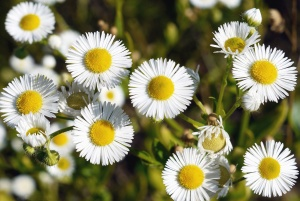 chamomile, flower, flowering, petal, summer, plant, flora, meadow, garden