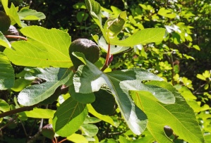 fig tree, leaf, fruit, sun, plant, botnaic