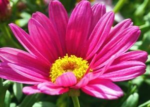 pink, flower, petal, blossom, plant, floral, garden, daisy, flora