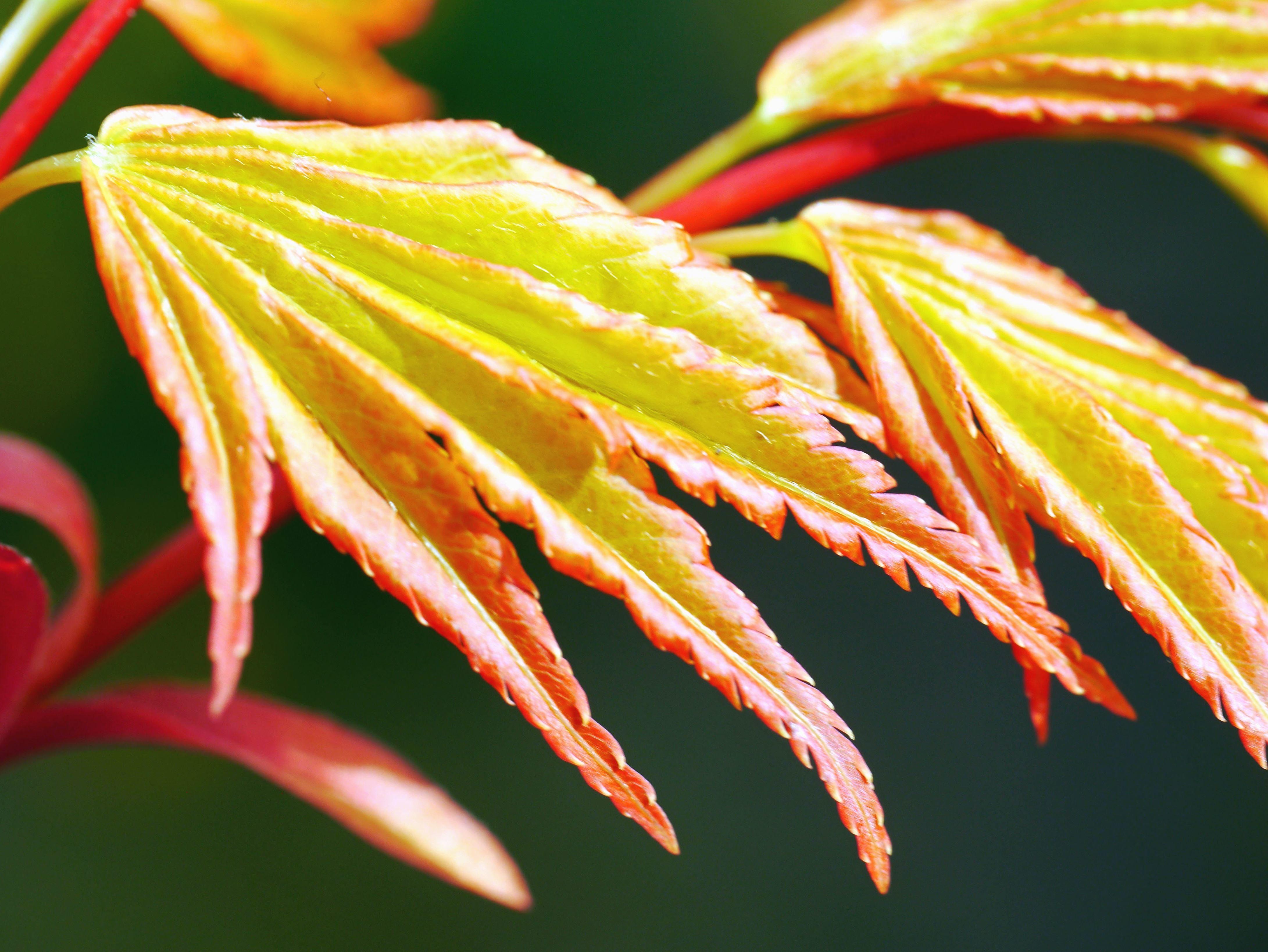 Imagen gratis: Hoja, planta, flora, hojas, flor, color