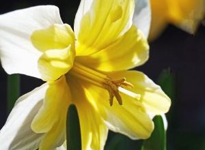 daffodil, flower, petal, pistil, garden, flora, leaf