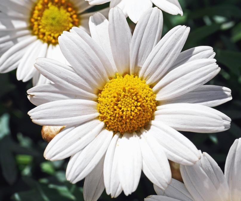 Marguerite, fleur, pétales, pollen, printemps, flore, botanique