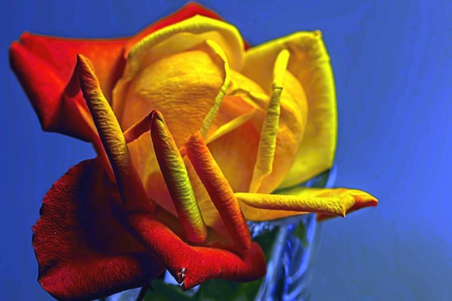 Pétale, rose, plante, flore, botanique, jaune, romantique