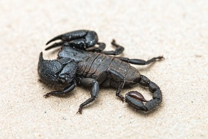 scorpion, insect, sand, black