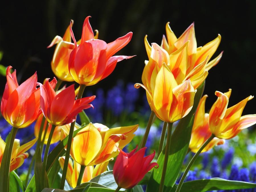 Hình ảnh Miễn Phí Cánh Hoa Hoa Tulip Lá Vườn Thực Vật