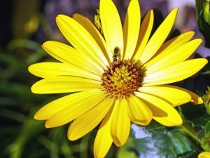 včela, petal, pyl, rostlina, žlutá, pyl, flóra, botaniky, hmyz