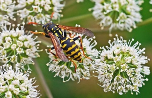 wasp, flower, petal, plant, insect, flora