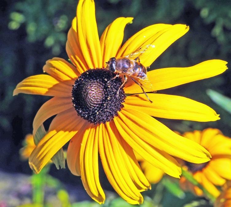 blomst bee pollen, sommer, sol, blomst, blomster, blomst, lyse, flora