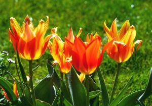 tulip, flower, plant, garden, flora, floral, bloom, petal, field