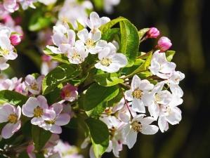 bloem, plant, bloemblaadje, Tuin, bloemen, blad, roze, flora
