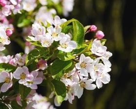 blomst, plante, kronblad, have, blomster, pink, blad, blomstrer, flora