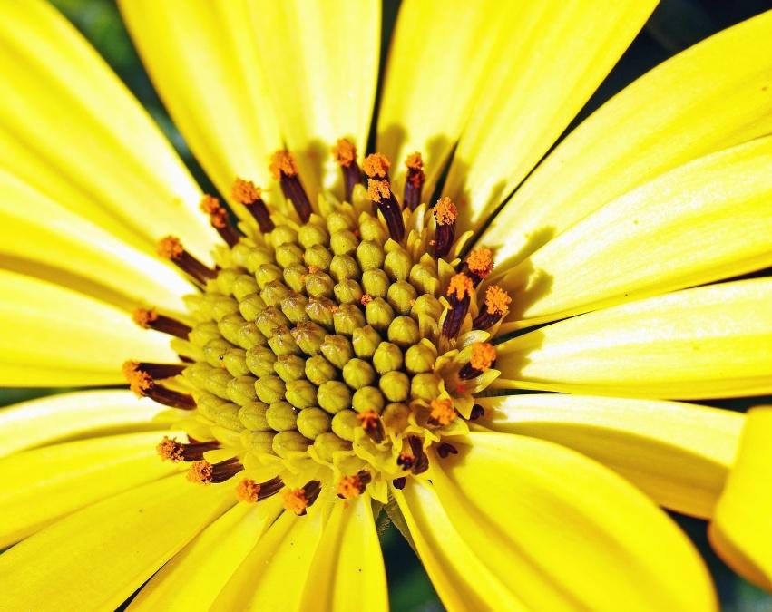 gul, blomst, pollen, flora, kronblad, piglet, blomstrende