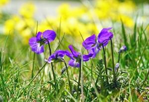 flower, violet, flower, petals, plant, flora, grass
