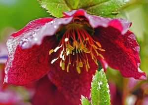 Pétale, pollen, feuilles, fleurs, flore, plante