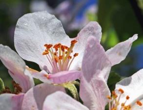 petal, anlegg, botanikk, pollen, rosa, våren, flora, blomst