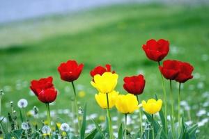 Tulipán, rostlina, květ, okvětní lístky, tráva, louka, flóra, botanika
