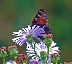 butterfly, insect, flower, petal, plant, plant