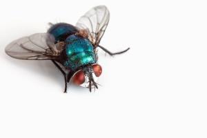 insecte, zbura, aripa, macro, animale