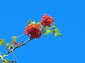 plant, tree, berry, leaf, flora, sky, branch