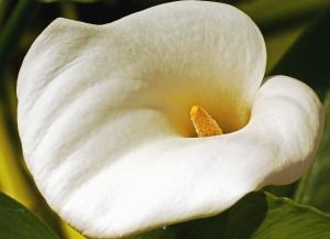 Flor, pétalo, polen, néctar, planta, blanco, amarillo, jardín