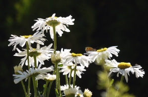 camomile, nectar, pool, petals, stem, leaf, flower, flowering, garden