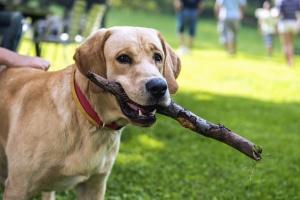 Cane, animale, animale domestico, cucciolo, purosangue, cane, pedigree