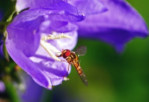 capung, serangga, ungu, bunga, tanaman, kelopak, nektar, serbuk sari, flora
