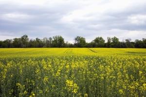 seed, oilseed, rapeseed, field, plant, tree, landscape