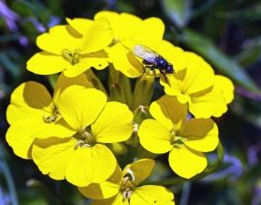 Fly, virág, szirom, pollen, növény, növény, kert