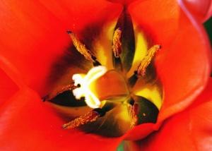 květ, okvětní lístek, pyl, nektar, flóra, rostlina