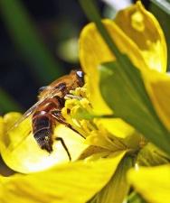 Abeille, insecte, pollen, nectar, pollinisation, fleur, pétale, plante