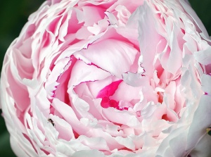 flower, rose, petal, plant, garden, nature, pollen, nectar