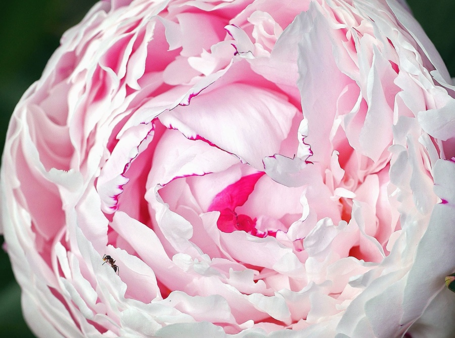 flori, trandafir, petale, plante, gradina, natura, polen, nectar