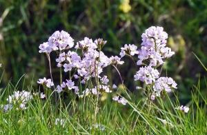cvijet, jorgovan, biljka, biljka, cvijet, vrt, proljeće, roza