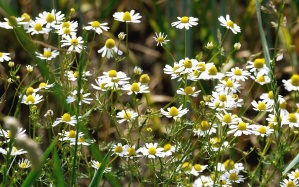 chamomile, flower, plant, meadow, grass, petal, leaf