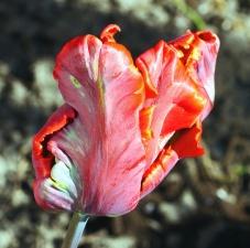 blomma, kronblad, växt, blomma, blommig, våren