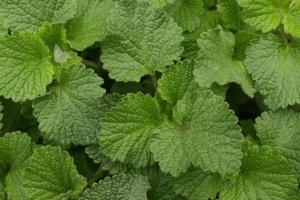 blad, kruid, groen, lente, gebladerte, groei, natuurlijke